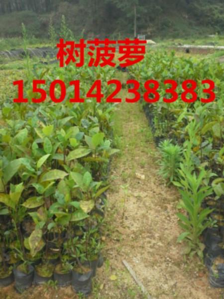供应树菠萝种苗市场价格,南方树菠萝小苗批发商,树菠萝苗木批发bj
