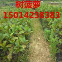 供应树菠萝小苗樟树种苗,南方火焰木批发商,30公分高南方绿化小苗价钱批发