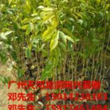 供应广东30公分高木棉苗批发,南方木棉小苗批发商,南方木棉苗批发报价