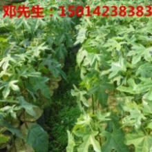 供应广东绿化仪花种苗批发价钱,广东广州仪花30公分生产地方