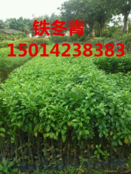 供应宫粉紫荆种苗价钱,30公分高宫粉紫荆最低价位,宫粉紫荆供应商
