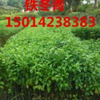 供应广州40公分高铁冬青市场价位,铁冬青苗清货价格,铁冬青供货商