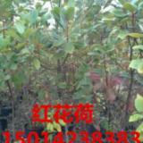 供应广东30公分高红苞木树苗,苗圃供应粗壮红花荷地苗,红花荷最新报价