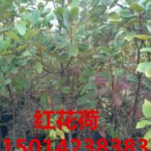 供应红花荷树苗商家价格,广东红花荷小苗批发商价格,广州红花荷苗木报价