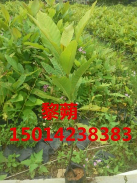 供应广东30公分黎蒴便宜价格,40公分高黎蒴种苗特价,黎蒴树苗批发