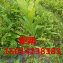 供应广东30公分高红花荷绿化苗报价,红花荷造林苗供应,供应种苗