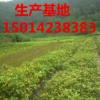 供应30公分高冬樱花供货商报价,广东造林苗批发,冬樱花小苗报价