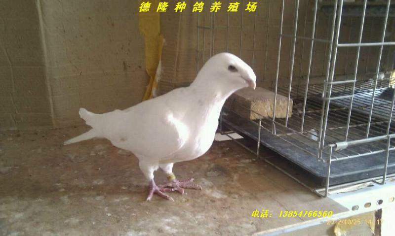 观赏鸽点子图片_【观赏鸽出售图片大全】观赏鸽出售图片库、图片网_一呼百应