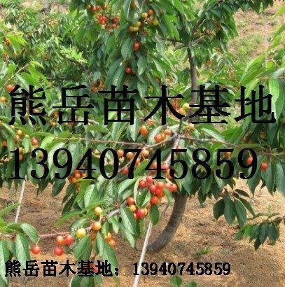 洋樱桃苗销售