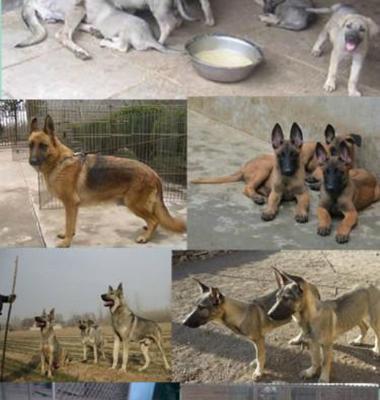 杜高犬图片/杜高犬样板图 (2)