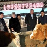 纯种西门塔尔牛肉牛图片
