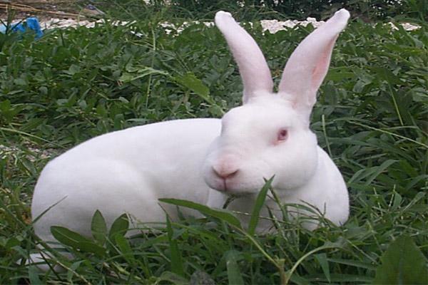 供应养獭兔,养什么样的獭兔品种才能赚钱
