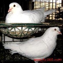 供应肉鸽养殖,肉鸽养殖方法,肉鸽养殖场(图)批发