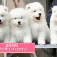 萨摩耶雪橇犬图片