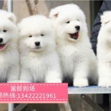 广州哪里有出售宠物狗 广州萨摩耶幼犬的价格多少 广州富郎狗场图片
