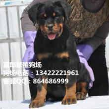 广州哪里有卖宠物狗纯种罗威纳的价格多少广州哪里有罗威纳专卖店批发