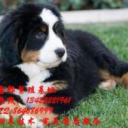 伯恩山犬图片