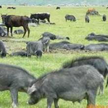 供应江苏藏香猪养殖、藏香猪养殖