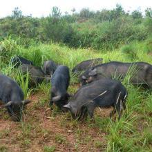 供应合肥藏香猪