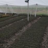 无菌网棚柑桔苗订育图片