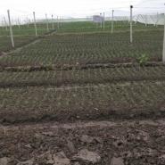 无菌柑桔苗订育图片
