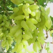 新品种葡萄苗