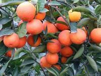 供应塔罗科血橙苗,红玉血橙苗,玫瑰血橙苗