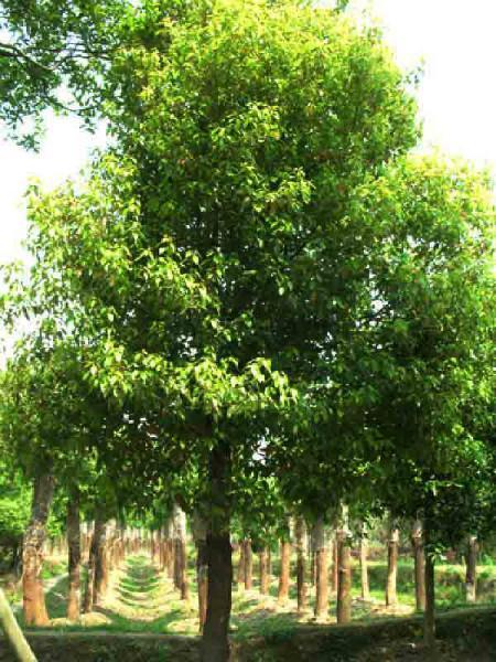 供应香樟树优质种苗批发图片