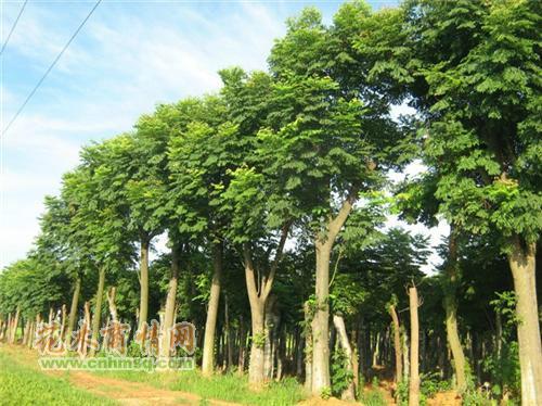 供应栾树小苗优质种苗批发图片