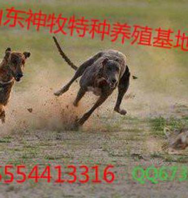 格力犬图片/格力犬样板图 (2)