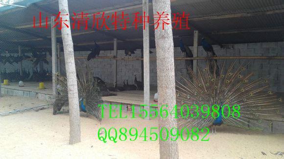 供应南京孔雀价格图片
