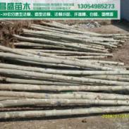 河南郑州5公分6公分法桐2014年价图片