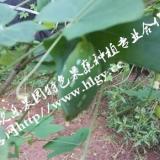 供应奇特佳果【红参果】 红参果种苗基地 红参果种苗