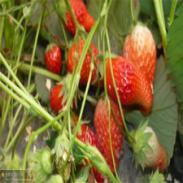 新品种甜宝草莓苗图片图片