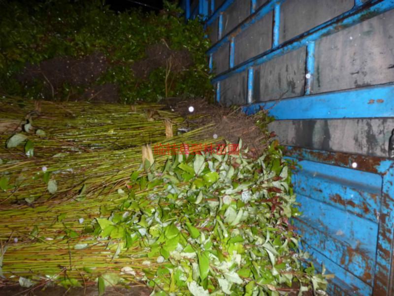 供应桂林香樟种植,桂林专业种植香樟基地,桂林香樟种植批发