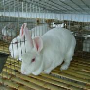獭兔育种基地图片