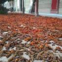 供应红花玉兰种子,红花玉兰种子价格,红花玉兰种子供应商