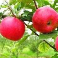 苹果树苗批发图片