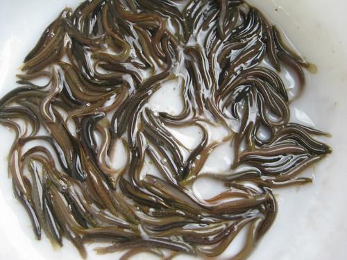 供应福建大量优质泥鳅苗供货商