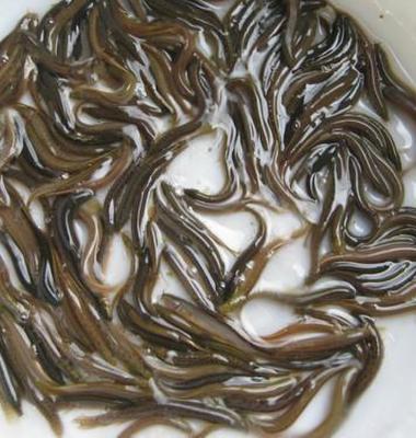 泥鳅种苗图片/泥鳅种苗样板图 (3)