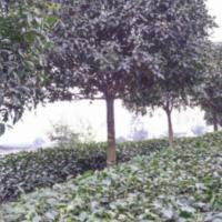 供应10公分桂花树批发、雅安10公分桂花树、重庆10公分桂花树基地