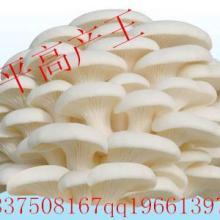 郑州食用菌菌种在哪里批发好 河南哪里卖菌种