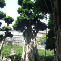 重庆景观提升{造型小叶榕}精品榕树桩头《九重葛》造型三角梅桩景批发价格