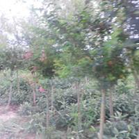 供应江苏哪里有木槿树卖,绿化苗木木槿树销售,大丰木槿基地价格