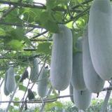 供应迷你小冬瓜种子 迷你小冬瓜种子 冬瓜种子图片