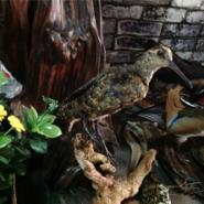 动物标本鸟类标本沙锥标本图片
