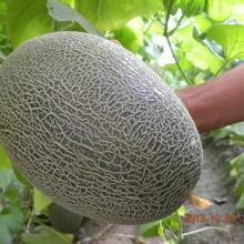 供应适应陕西渭南大棚种植哈密瓜种子 青甜06