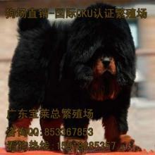 广州哪里有卖纯种藏獒犬广州哪里有藏獒繁殖场批发