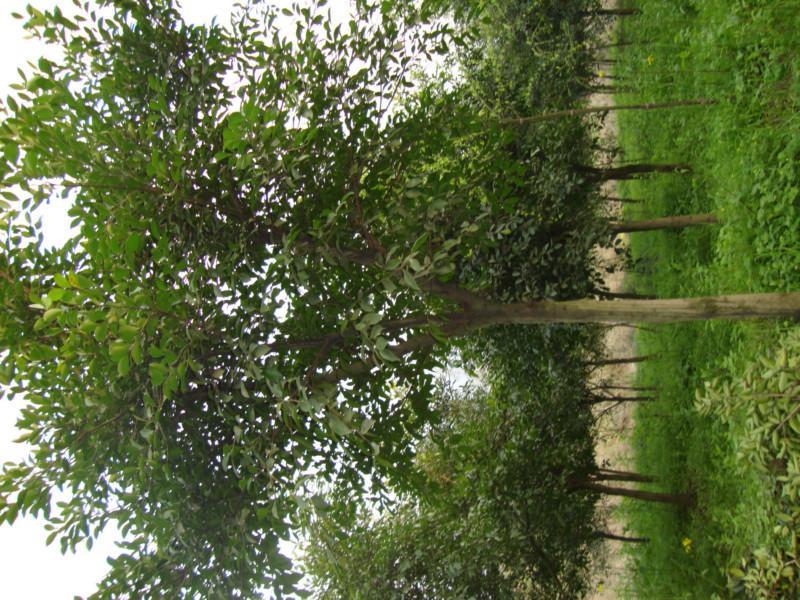 供应重庆花卉苗木批发基地出售杜英