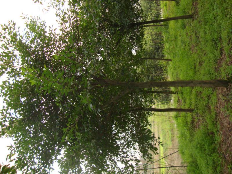 供应重庆小叶榕种植基地